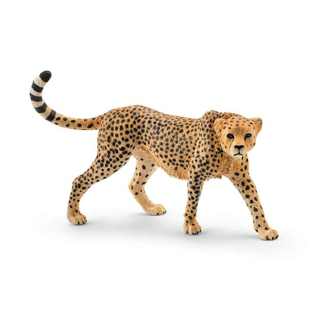 Cheetah, female